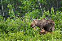 Cow moose with twin calves in the spring green grasses, Denali National Park, Alaska