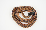 Black-Headed Python (Aspidites melanocephalus) on white background