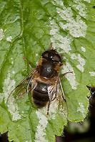 Bienen-Schwebfliege, Bienenschwebfliege, Mistbiene, Weibchen, Eristalis spec., drone fly