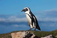 Jackass Penguin or African Penguin (Spheniscus demersus), Betty's Bay, South Africa.