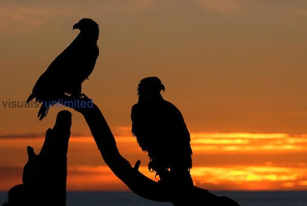 Mature Bald Eagle pair (Haliaeetus leucocephalus) at Sunset.