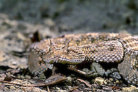 489294005 closeup of the head of a captive adult horned desert viper cerastes cerastes showing the horned scales above the eyes and with its tongue out sensing its environment