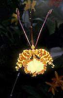 Psychopsis Kalihi (Hybrid, krameriana x papilio) Butterfly Orchid hybrid aka Oncidium