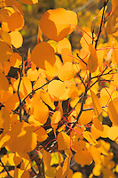 Aspen Leaves - Fall Colors