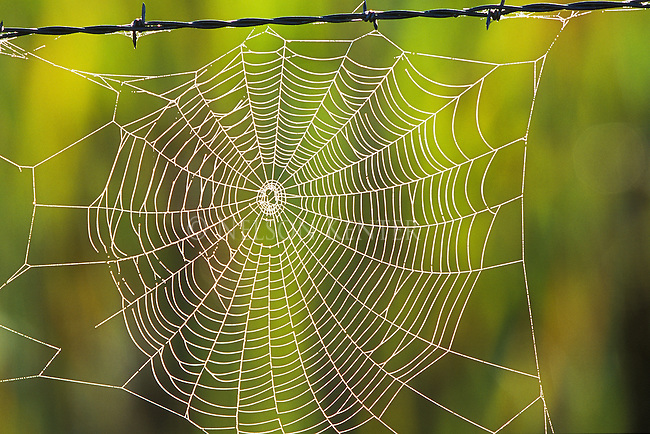 The sun lights up a spider web on a barbed wire fence