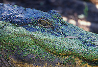 An American Alligator (Alligator mississippiensis) covered with Duckweed, Lemna, Atchafalaya Basin, Louisiana, USA.