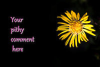 "Toned yellow flower, Gum Plant, on right, including insect, with text, ""Your pithy comment here"" on left half of image over dark shadow tones."