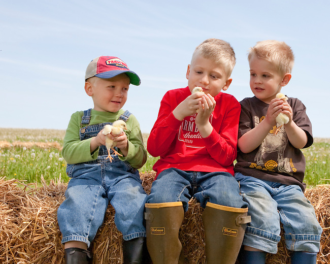 Three boys 4-6 years in jeans and t-shirts sitting on hay bale holding White Rock chicks