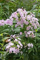Phlox paniculata Blushing Shortwood