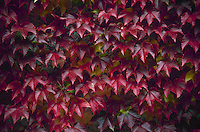 Boston ivy close up on wall in New England