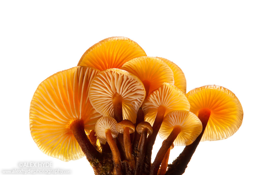 Velvet Shank / Winter Fungus {Flammulina velutipes}, photographed against a white background. Peak District National Park, UK. January.