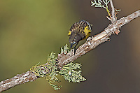 561970011 a wild juvenile male scott's oriole icterus parisorum perches on a pine bough in madera canyon green valley arizona united states