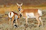 Pronghorn Female and Juvenile, Blacktail Plateau, Yellowstone National Park, Wyoming