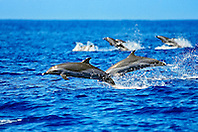 pantropical spotted dolphins, Stenella attenuata, lunging, offshore, Kona Coast, Big Island, Hawaii, Pacific Ocean