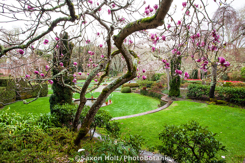 Spring flowering tree Magnolia soulangeana 'Rustica Rubra' at the edge of lawn in the formal Wall Garden at Filoli