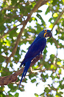 RB553770-D. Hyacinth Macaw (Anodorhynchus hyacinthinus). Largest macaw in world, to 100cm. Massive illegal trade significantly reduced wild populations. Brazil, South America.<br /> Photo Copyright &copy; Brandon Cole. All rights reserved worldwide.  www.brandoncole.com