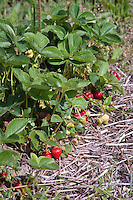 Strawberry plants growing in straw mulch.