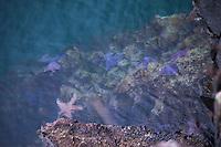 Ochre Sea Star (Pisaster ochraceus) on Tidal Rocks off Russell Island, Gulf Islands National Park Reserve, British Columbia, Canada