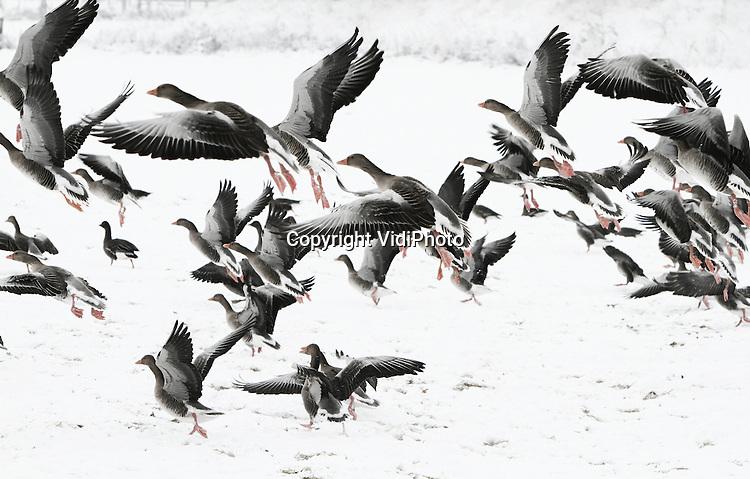 Foto: VidiPhoto..BEMMEL - Wilde ganzen strijken massaal neer op ondergesneeuwde weilanden, zoals hier in Bemmel bij Arnhem. Voor de massaal overwinterende ganzen is het door de sneeuw een stuk lastiger om aan voedsel te komen. Voordeel voor boeren is dat ganzen het grasland nu niet kapottrappen en wegvreten..