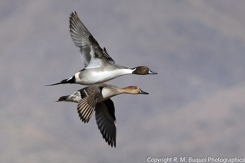 Northern Pintails in flight at Bosque Del Apache NWR