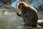 Jigokudani Monkey Park is located in the valley of the Yokoyu River that flows from Shiga Kogen ski area of the northern part of Nagano Prefecture.  Japanese monkeys, Macaque Fuscata, are the species that live in the northern part of the world. They live in forests, mainly in Honshu.  Jigokudani is famous for its large population of wild Japanese Macaques more commonly referred to as Snow Monkeys, that stay in the valley during the winter, and like to bathe in the local hot springs. .