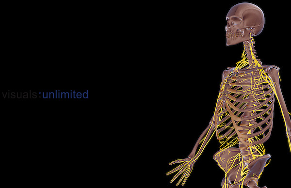 An anterolateral view (left side) of the nerve supply of the upper body.   Royalty Free