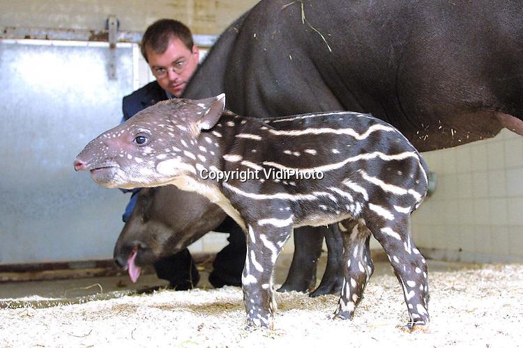Foto: VidiPhoto..ARNHEM - In Burgers Zoo in Arnhem is onverwacht een Zuid-Amerikaanse tapir geboren. Het jong is een vrouwtje en ter ere van het huwelijk van prins Constantijn, Laurentien genoemd. Het jong draagt de eerste drie maanden een bruin-wit streepjespak terwijl moeder Liesje donkerbruin is. Burgers Zoo is de enige Nederlandse dierentuin die Zuid-Amerikaanse tapirs fokt. Het is sinds 1979 de tiende tapir die in Burgers geboren is. Foto: Medewerker Marc Damen controleert in de kooi bij moeder en jong.