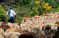Shepherd and his flock of sheep arriving in Esperou village during a summer transhumance, Gard, Provence, France.