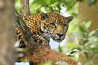 Jaguar head (Panthera onca), Belize