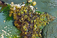 Rockpool with limpets, whelks, seaweed at Kilkee, County Clare, West Coast of Ireland