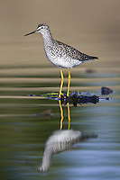 Lesser Yellowlegs wading in a marsh