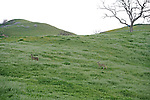 Black-Tailed Deer In The Foot Hills Along The Santa Clara River