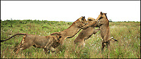 BNPS.co.uk (01202 558833).Pic: Alan Murray/BNPS..Two other siblings join in to calm the situation...***Please Use Full Byline***..Rumble in the jungle!..Learning the law of the jungle can be tough as this no holds barred 'play' fight between young lions shows...The fray was started after two of the ferocious animals, stalked each other around the pride in the Phinda Reserve in Zululand, South Africa...They swiped at each other with their paws and rolled around on the floor, causing a commotion that woke the rest of the huge cats...It was only when two other siblings made a dramatic intervention that the angry exchange fizzled out and the pride returned to contemplating the menu items on the surrounding plain....The dramatic dust-up was was captured by amateur photographer Alan Murray, who was watching the group from the safety of a van...