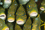 Close-up of schooling yellow-ribboned sweetlips (Plectorhinchus polytaenia) surrounded by glassy sweepers. North Raja Ampat, West Papua, Indonesia