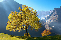 Autumn trees in the Swiss Alps, Grindelwald, Switzerland