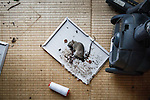 Namie, Fukushima prefecture, November 11 2013 - Dead rat in the house of Takashi Ando, 60, former worker of Fukushima Daiichi nuclear power plant. Mr Ando now lives in a temporary house in Soma. He spend one week after the accident alone in his house because temporary centers for refugees did not allow pets. He is now allowed to go back to his house but can not stay overnight.