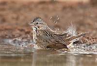 578820045 a wild lincoln's sparrow melospiza lincolnii bathes in a small waterhole on santa clara ranch hidalgo county rio grande valley texas united states