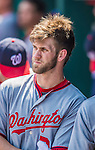 25 August 2013: Washington Nationals outfielder Bryce Harper looks out from the dugout during a game against the Kansas City Royals at Kauffman Stadium in Kansas City, MO. The Royals defeated the Nationals 6-4, to take the final game of their 3-game inter-league series. Mandatory Credit: Ed Wolfstein Photo *** RAW (NEF) Image File Available ***