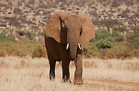 A young elephant walk by the bush, near the Samburu river in Samburu national park, northern, Kenya. (PHOTO: MIGUEL JUAREZ LUGO).