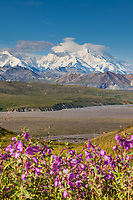 Dwarf fireweed in pink summer bloom in the foreground with the summit of Mt McKinley in the distance, viewed from Eielson Visitor's Center, Denali National Park, interior, Alaska.