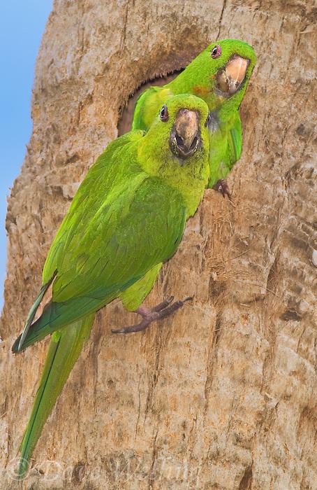 566700061 a wild pair of green parakeets aratinga holochlora perch at a cavity nest at quinta mazatlan in mcallen texas