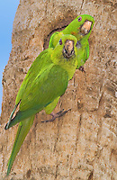 566700061 a wild pair of green parakeets aratinga holochlora perch at a cavity nest at quinta mazatlan in mcallen texas