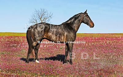 Natal Clasi, a very rare brindle horse