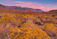 Dawn, Rabbitbrush, The Buttermilks, Bishop Creek National Recreation Area, Inyo National Forest, Eastern Sierra, California