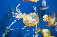 435250002 pacific sea nettle chrysaora fuscescens swim and float in their aquarium at the long beach aquarium in long beach california