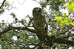 Barred owl (Strix varia), Washington Grove, Maryland