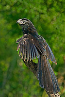 506100067 a wild groove-billed ani crotophaga sulcirostris spreads its wings to warm up while perched on a dead tree limb on a ranch in the rio grande valley of south texas