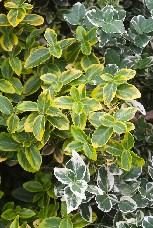 euonymus emerald n gold emerald gaiety plant flower. Black Bedroom Furniture Sets. Home Design Ideas
