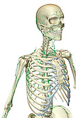 A superior anterolateral view (right side) of the lymph supply of the upper body. Royalty Free