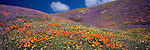 A hillside of wildflowers in the Tehachapi Mountains of California.